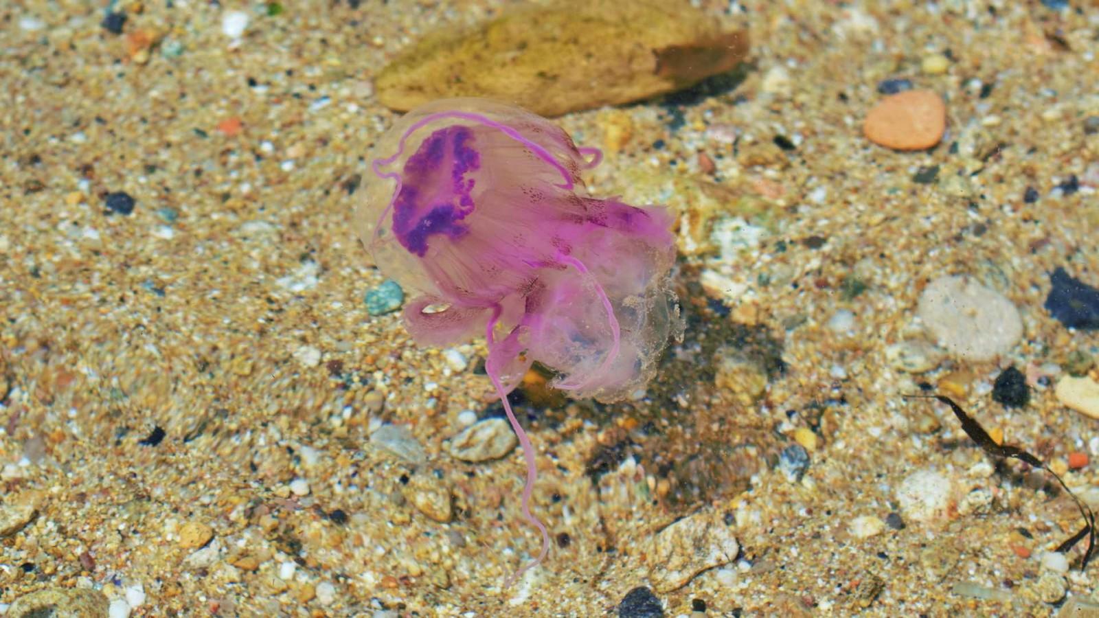 jelyfish sea